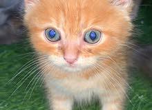 Persian/shirazi Cat Kittens لطيف القطط الفارسية المتاحة