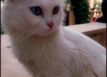 شيرازي كل عين لون