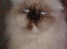 قطه سكوتش فولد هملايا للبيع