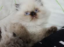 قطة هملايا عيون زرق