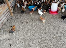 دجاج عماني جاهز لذبح