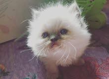 قطط شيرازي العمر شهر ونص