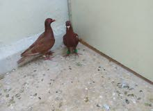 جواز شغاله للبيع او للبدل علا عصافير