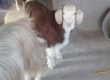 تيس رحبي عمر 8 شهور