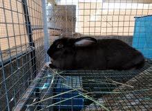3 ارانب للبيع كبار فرنسي وهولندي