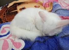 قط فارس بي شيرازي مون فيس ابيض عيونا ازرق و بني
