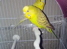 جوز طيور حب لون اصفر موشح باسود