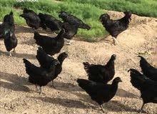 بيض دجاج اسود لامبيرغيني اندونيسي