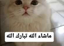 ذكر وأنثى شيرازي عمر 3شهور