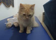 قطة أنثى شيرازيه أصل العمر 6 أشهر