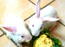 I want to sale my cute rabbits