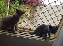 قطتين برتش بيور للبيع