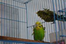 للبيع طيور حب كامل مواصفات اقره الاعلان 100 بيهن مجال