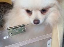 كلب نوع بو اللون ابيض اوكراني