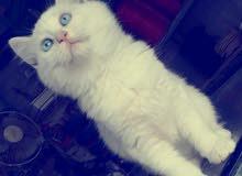 قطة شيرازي اليفه ولعوبه جدا عيون زرق