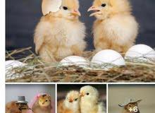 بيض براهما بوف اصفر اصلي