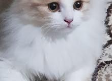 قطط لعبة شيرازي اميريكي