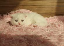 Snow-white scottish fold girl