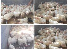 للبيع دجاج هولندي