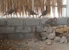 طيور الحجل