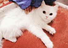 Persian Cat -قط فارسي
