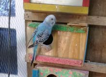 دكر عصافير استرالي اوبلاين فايلوت تركيبات