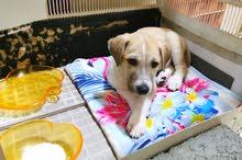 2 month old pet Dog for sale/ adoption
