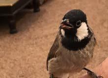 طير بلبول عراقي