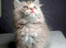 قطه شانشلا لون جكليتي لعوبه وذكيه جداً