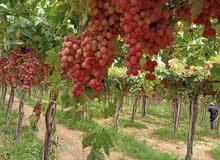 انواع العنب