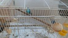 طيور بادجي للبيع مع الأقفاص