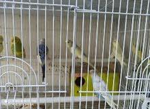 طيور حب هولندي ابيض وموزي