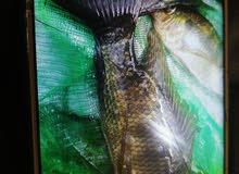 سمك بلطي للبيع 3بريال فقط أحجام متوسطه عمر سنتين ونص