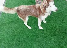 husky Siberian female