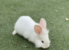Adorable Rabbits 2 months old  ارانب عمر شهرين