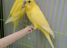 العصافير