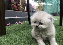 قطط هملايا سكوتش للبيع