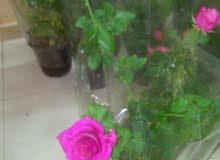 شتلات الورد السلطاني والمحمدي
