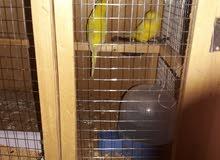 طيور الحب أنكليزي اصفر كلهم هنة  وقفص