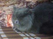 قطه تورتيلا معها اربع قطط عمر عشر ايام والاب موجود بالاعلان