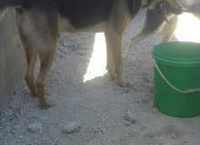 كلب جيرمن اصلي مميز على الرقم 0777487748