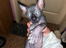 Sphynx kittens male and female