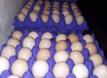 بيض فيومي وبلدي مخصب 100%