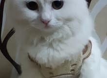 قط وقطة للبيع
