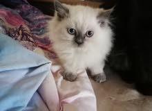 قطة همالايا انثى للبيع