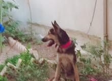 كلب ولف دوك اصلي