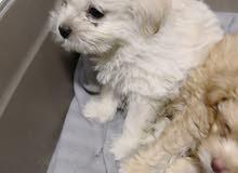 كلب مالتيز بيور للبيع