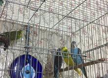 طيور حب البيع