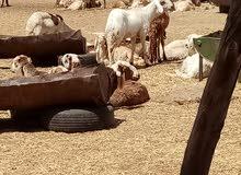 مربى دواجن ماهر خبرة في السودان وسلطنة عمان