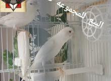 مجموعه طيور كناري مميزه